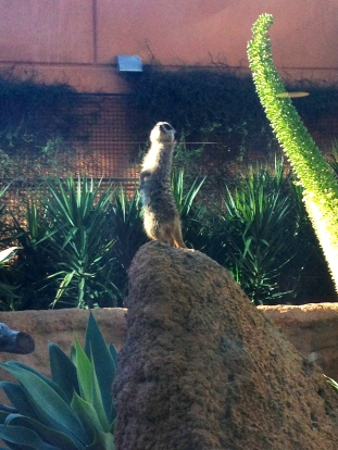 The Meerkat Sentry on Watch