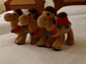 Hyatt Camels